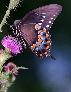 IMG0002Black Swollowtail Butterfly art