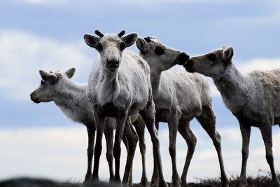 A small herd of carribou on the Canadian tundra.