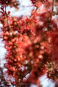 Monkey Flower Tree