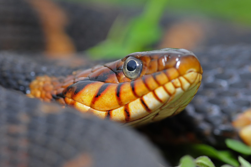 Broad banded watersnake in Southeast Texas.