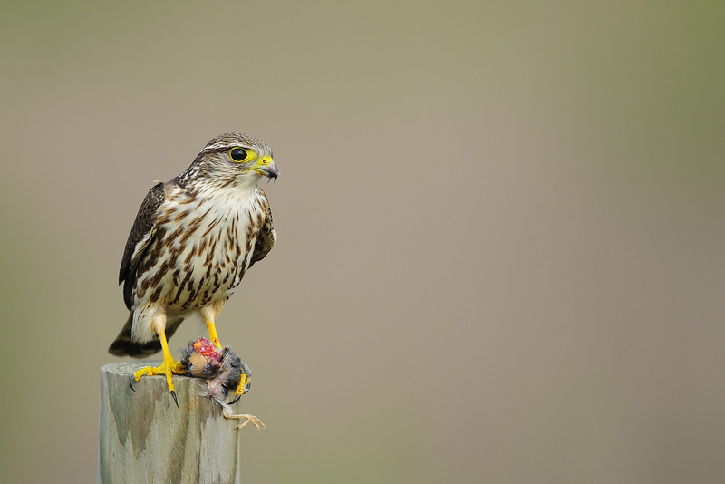 A merlin with unlucky fledgling, Texas.