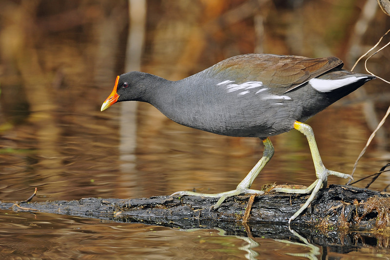 Common gallinule (formerly moorhen) foraging along the alligator infested water of Brazos Bend State Park, Texas.