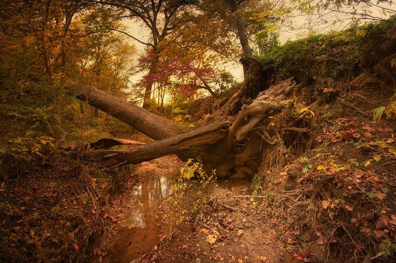 Fallen Trees in Creek