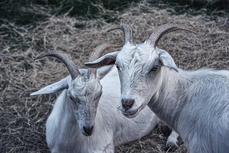 Goats, Middleton Place National Historic Landmark, Ashley Road, Charleston, South Carolina