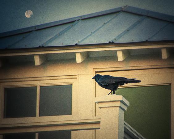 Raven at Dusk, Sullivan's Island, Charleston, South Carolina