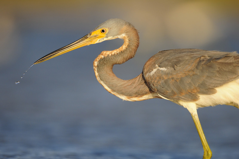 Tri-colored Heron in the Salinas on South Caicos.