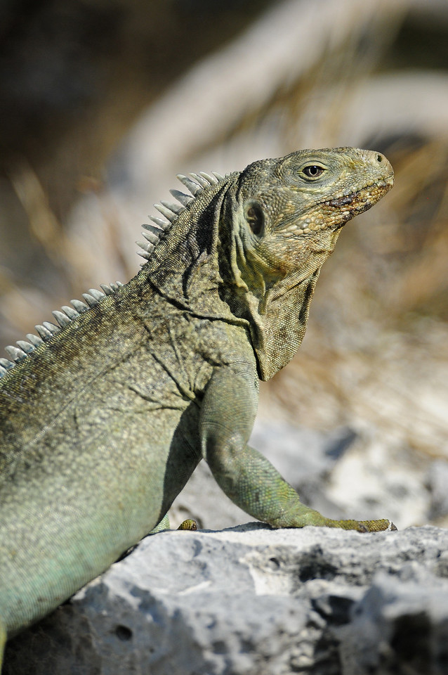 An endangered Turks and Caicos iguana that is now limited to just a few small islands around the Turks and Caicos Islands.