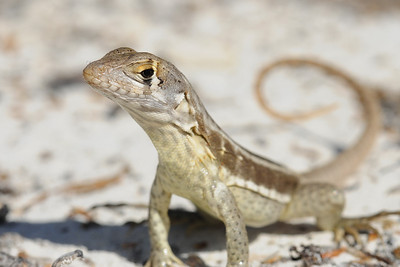 Curly-tailed lizard on Long Cay off of South Caicos, British West Indies.