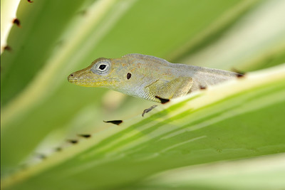 Anole species on a sisal plant on South Caicos, British West Indies.