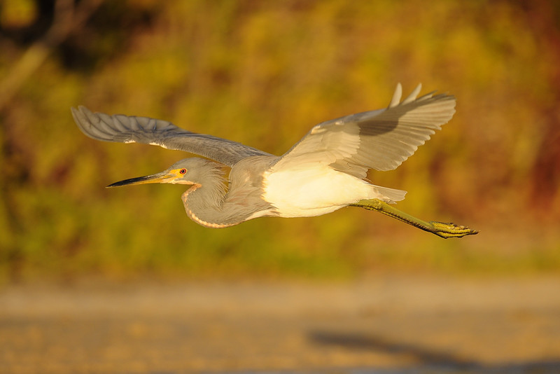 Tri-colored heron flying over the salinas on South Caicos, British West Indies.