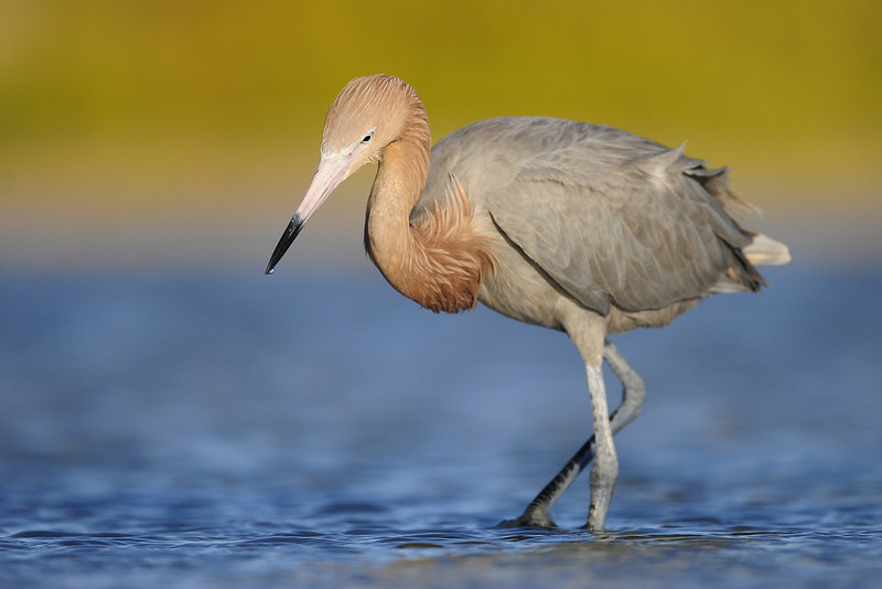 Reddish Egret foraging in the shallow water of the salinas on South Caicos, British West Indies.