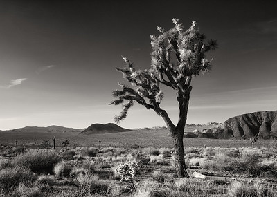 The Lone Joshua Tree