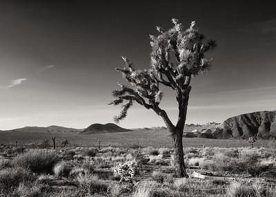 The Lone Joshua Tree