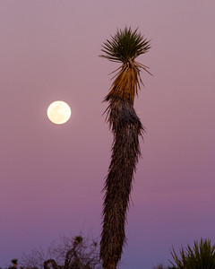Moon and the Joshua Tree