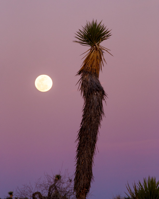 Vinod Kalathil - Joshua Tree National Park - Moon and the Joshua Tree