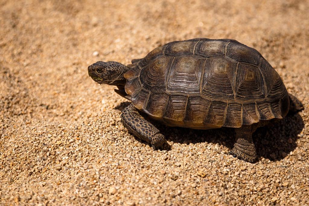 Vinod Kalathil - Joshua Tree National Park - Desert Tortoise