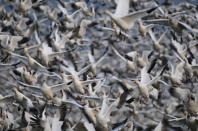A flock of snow geese erupting from a field in Skagit Valley, Washington.