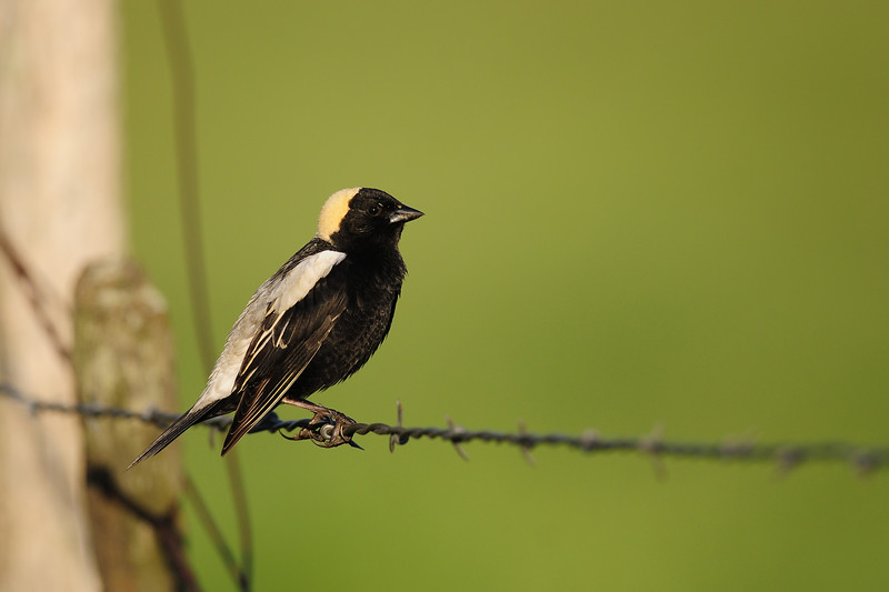 Bobolink perched on barbwire along a cattle pasture, Wisconsin.