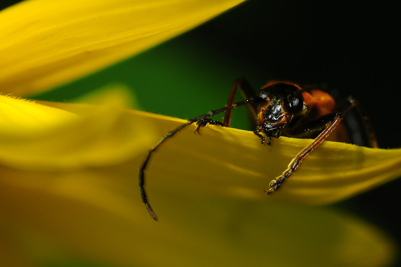 A goldenrod soldier beatle (chauliognathus pensylvanicus) sitting on the petal of a black-eyed susan near Stevens Point, Wisconsin.