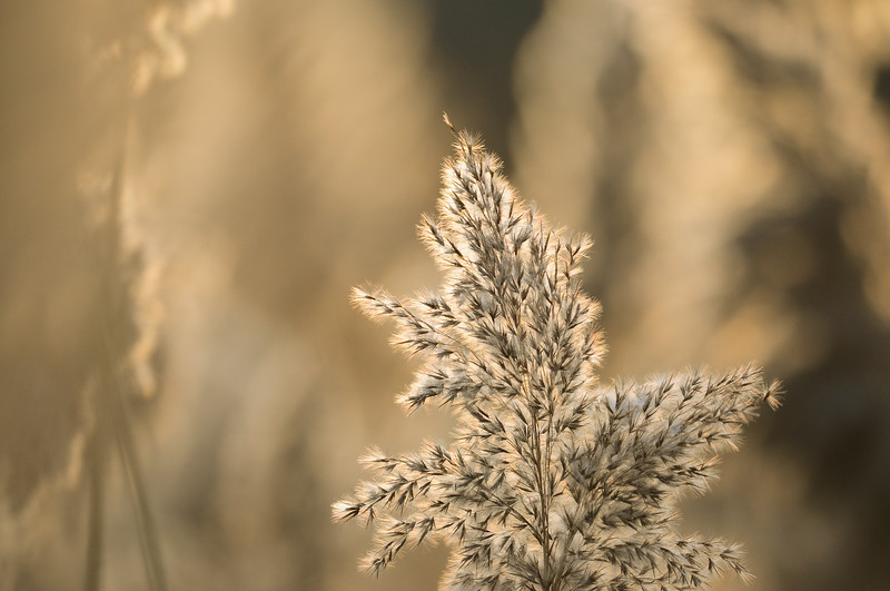 Phragmite grass in the early morning light, Wisconsin.