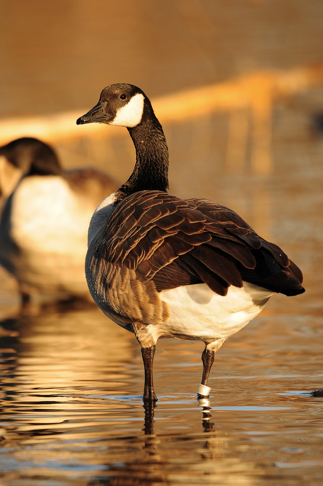 A banded Canada goose, Wisconsin.