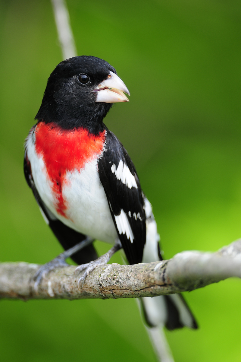 Male rose-breasted grosbeak calling, Wisconsin.