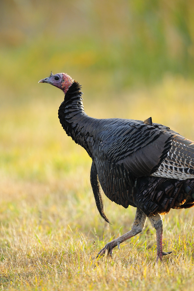 A wild turkey during November near Green Bay, WI.
