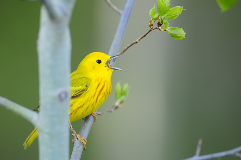 Male yellow warbler singing, Wisconsin.