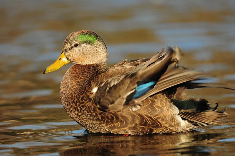 A mallard x black duck hybrid on a small pond, Wisconsin.