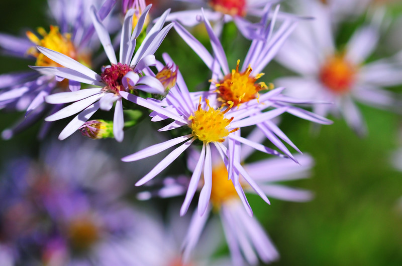 Bristly aster in Northern Wisconsin.