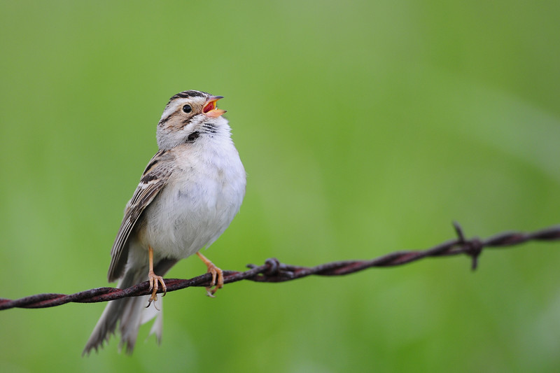 Clay-colored sparrow singing on a fenceline, Wisconsin