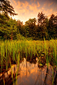 Cattails along the shore of Big Lake, Wisconsin.