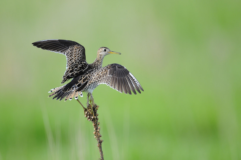 An upland sandpiper landing on its perch in Central Wisconsin.