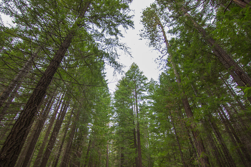 Looking up at the Canopy in Umpqua National Forest
