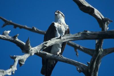 FL_Osprey Closeup FL