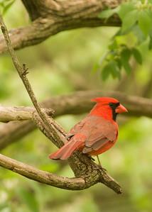 VA_EL_CRW_4438_07 Cardinal_07