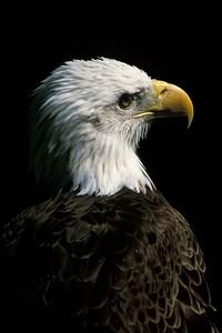 FL_Eagle Portrait FL