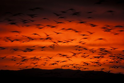 NM_Blur of Snow Geese ORN Sunrise_07