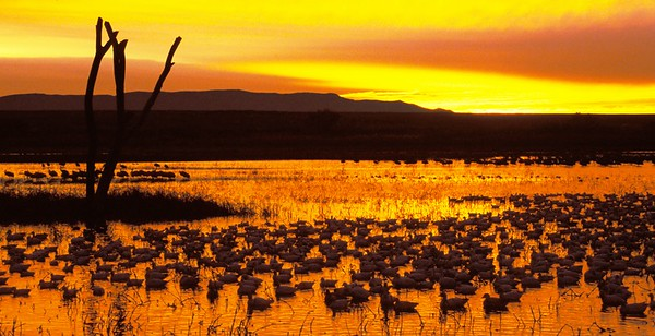 NM_Geese on water at Sunset w stag crop NM_07