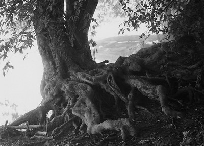 Algonkian BW Knotty Tree  12x16 ALG