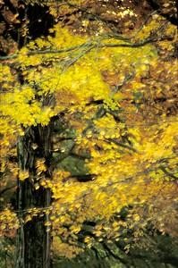 Agonkian Golded Trees doubExpos ALG