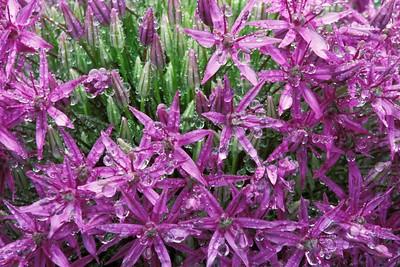 Best Flowers20 Purple Star Flowers_05
