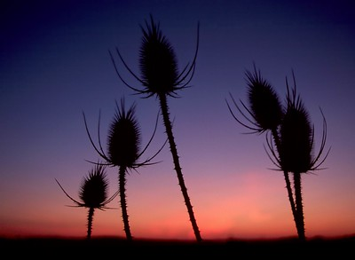 Teasle Sunset Closeup