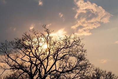The Silhouette of Jacaranda Tree