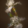 03-23-17 White Iris on Black Low Key