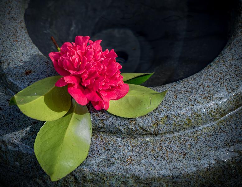 2-25-15 Red Camellia in Fountain