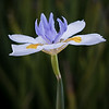 03-13-15 Iris in Sausalito