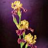 Purple & Yellow Studio Iris