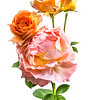 "06-02-15 Rose ""Polka"""