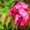 Pink Peony in the Rain